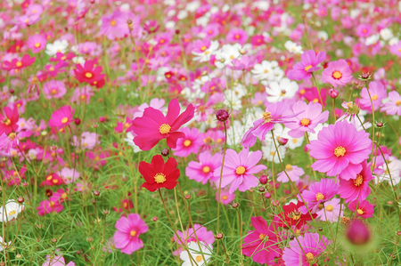 DeFocus Cosmos Flower Field Blurred From the Wind Background Texture