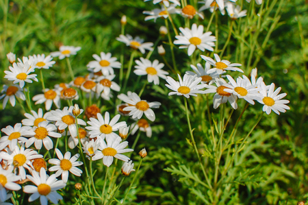 dept: Lush green grasses and crisp white oxeye daisies (shallow depth of field)