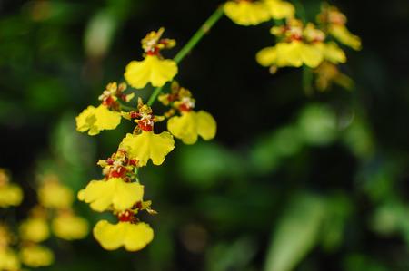 Oncidium Orchid Flowers, Dancing Lady orchid (Oncidium Varicosum, Oncidium Goldiana) Beautiful orchid flowers in a garden. Shallow depth of field Stock Photo