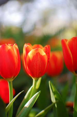 red and yellow tulips in the garden close up, shallow depth of field