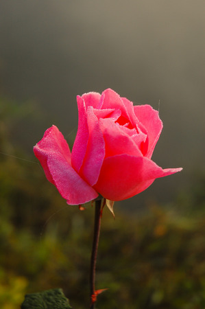 Pink roses with drop water., Made with blur style for background