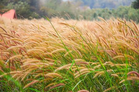 Unscharfe und Bewegung von Gras Blumen von windigen im Garten. Standard-Bild