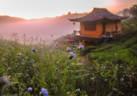 UN FOCUS IMAGE OF FLOWER AND CHINESE HOUSE FOR BACKGROUND Stock Photo