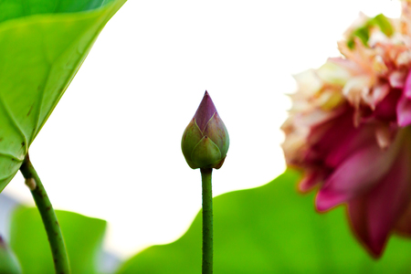Lotus flower blooming with green leaves on white isolate background.