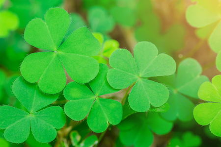 Creeping woodsorrell (Oxalis corniculata), green leaf clover with blurry soil and shine. lucky Stock Photo