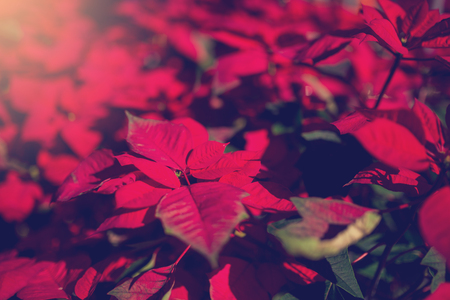 red poinesettia tree for christmas holiday background with selective focus. New Year holidays background. Stock Photo