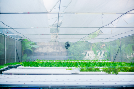 organic vegetable growing farm. vegetables are fresh and clean from chemicals.