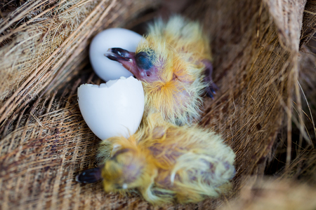 little pigeon in the nest , baby birds just hatching from egg, startup concept Archivio Fotografico - 119292028