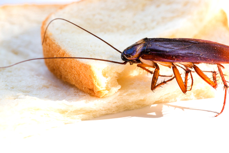 Close up of cockroach on a slice of bread, Cockroach eating whole wheat bread on white background(Isolated background), Insects and germs concepts