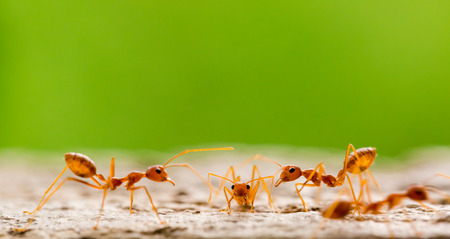 Macro shot of red ant in nature with selective focus. The conception of leadership and teamwork. Meeting concept.