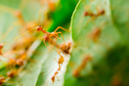 Macro shot of red ant in nature with selective focus. The conception of leadership and teamwork.