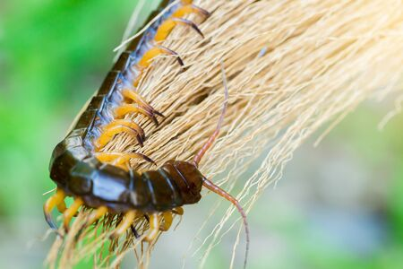 Centipedes climb to sleep on dry leaves, Commonly found in Thailand.