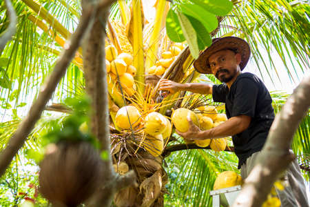 An Asian man with a mustache is harvesting coconuts. Fresh coconut from the garden. Harvester harvests coconut palm tree trunk.