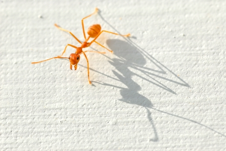 Ant and shadow on a white background  In the direction of the light To the ants than its shadow  photo