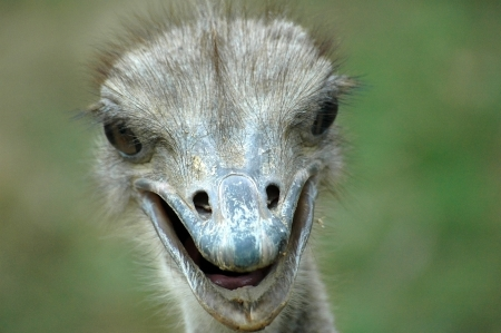 struthio camelus: Ostrich head he Ostrich, or Common Ostrich  Struthio camelus , is one or two species of large flightless birds native to Africa  From Wikipedia  Stock Photo
