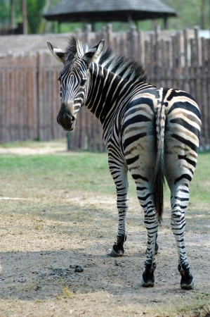 Zebra Zebras are several species of African equids  horse family  united by their distinctive black and white stripes   From Wikipedia  Banco de Imagens