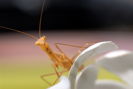f 15: Praying mantis on white flower Mantodea  or mantises, mantes  is an order of insects that contains over 2,400 valid species and about 430 genera in 15 families worldwide in temperate and tropical habitats  Most of the species are in the family Mantidae  F Stock Photo
