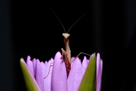 mantodea: Praying mantis on a lotus Mantodea  or mantises, mantes  is an order of insects that contains over 2,400 valid species and about 430 genera in 15 families worldwide in temperate and tropical habitats  Most of the species are in the family Mantidae  From W