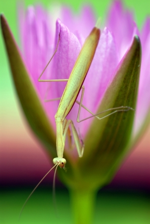 mantodea: Mantis climbs the lotus Mantodea  or mantises, mantes  is an order of insects that contains over 2,400 valid species and about 430 genera in 15 families worldwide in temperate and tropical habitats  Most of the species are in the family Mantidae  From Wik Stock Photo
