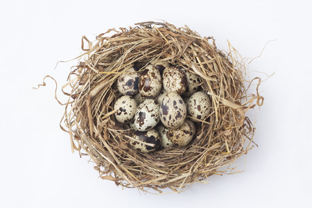 Quail eggs in a nest photo