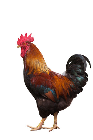 Beautiful rooster isolated on white background