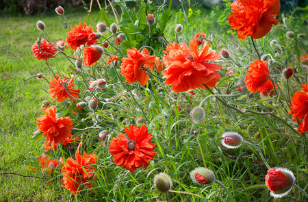 papaver: Garden papaver rhoeas Stock Photo