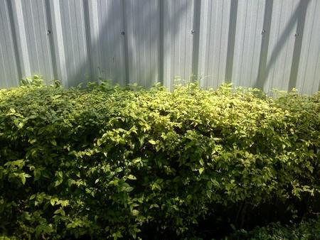 sidelong: Sideways hedge near metal wall Stock Photo