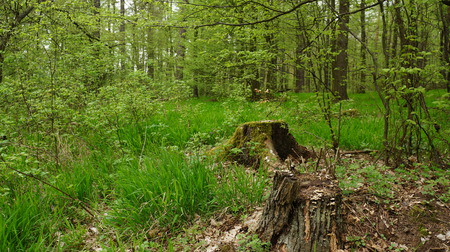 Green forest and stump photo