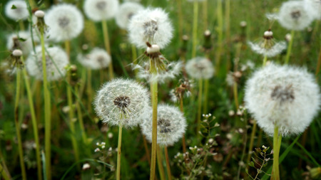Dandelions with seeds on greed grass background Stock Photo