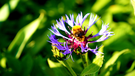 Detailed view of bumble-bee on a flower photo