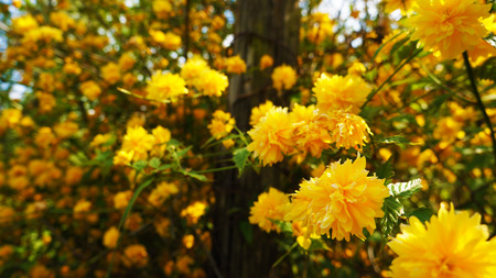 Yellow blossoms on shrub photo