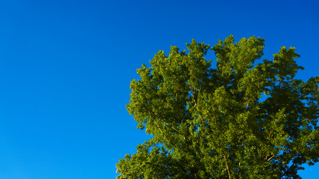 without clouds: Crown of tree with blue sky without clouds Stock Photo