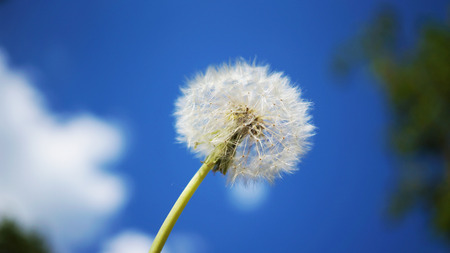 Detailed faded dandelion with the blue sky and clouds