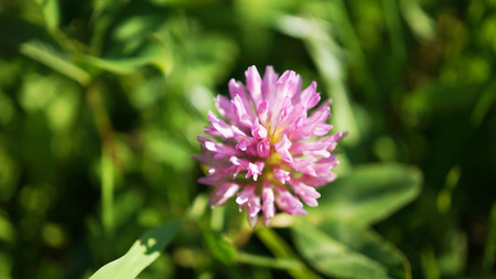 Detailed pink clover blossoms in grass