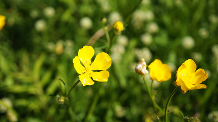 Yellow flowers in grass Stock Photo