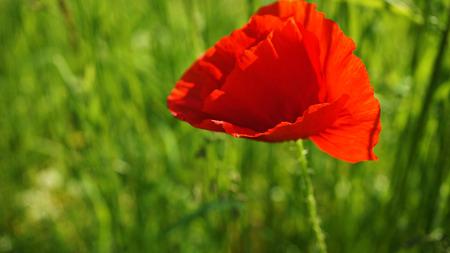 Red poppy flower in grass