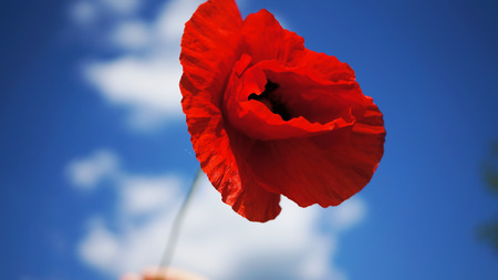 Red poppy flower with the blue sky and clouds