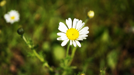 White flowers in grass
