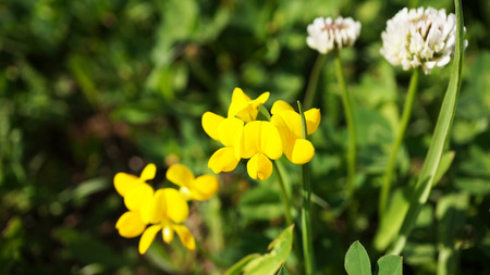 Yellow flowers and clover in grass Stock Photo