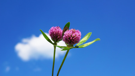 Detailed pink clover blossoms with blue sky and clouds Stock Photo