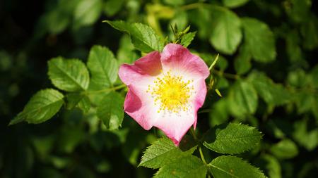 Pink rose blossom on rose shrub Stock Photo