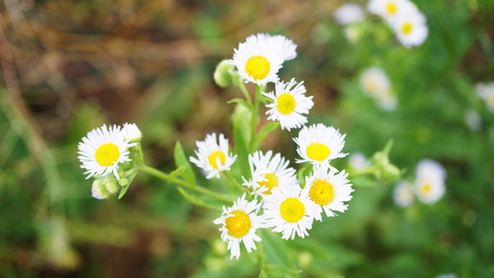 Close up of Daisy Flowers