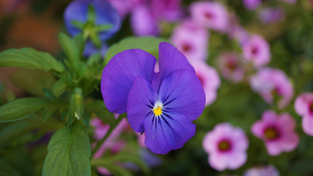 Flowering Blue and Pink flowers