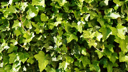 Close up of wall with Ivy