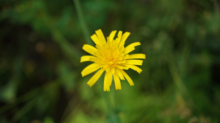Isolated dandelion in grass Stock Photo