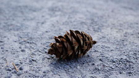 One big pine cone isolated on forest road