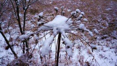 Snowy meadow flower Stock Photo
