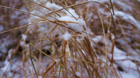 Snowy graas blades Stock Photo