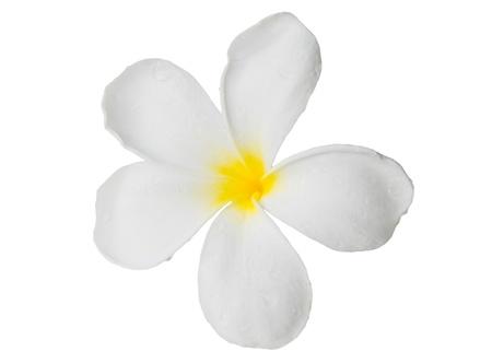 a white frangipani flower close up isolated photo