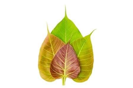 peepal tree: Bodhi or Peepal Leaf from the Bodhi tree, Sacred Tree for Hindus and Buddhists isolated with clipping path